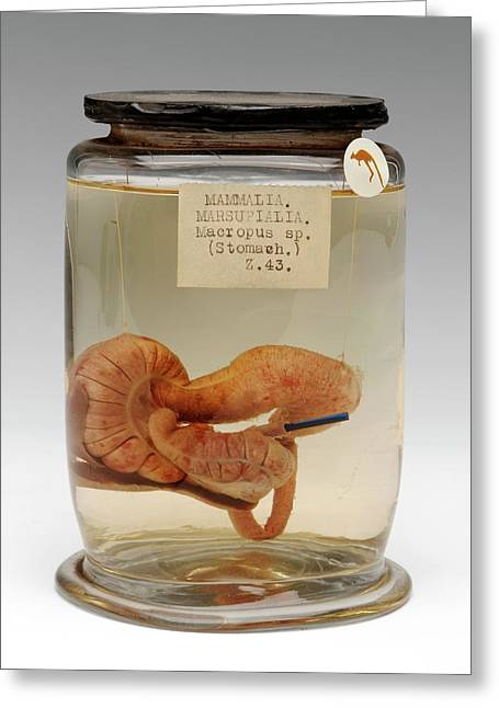 Kangaroo Stomach Specimen Greeting Card