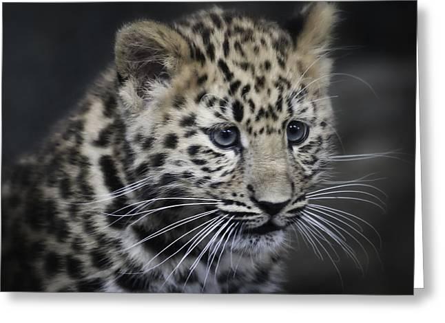 Kanika - Amur Leopard Portrait Greeting Card by Chris Boulton