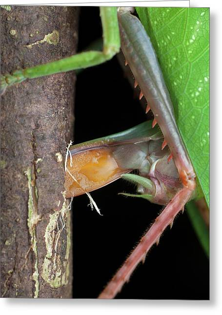 Katydid Laying Eggs Greeting Card