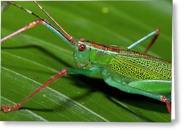 Katydid (tettigoniidae Greeting Card