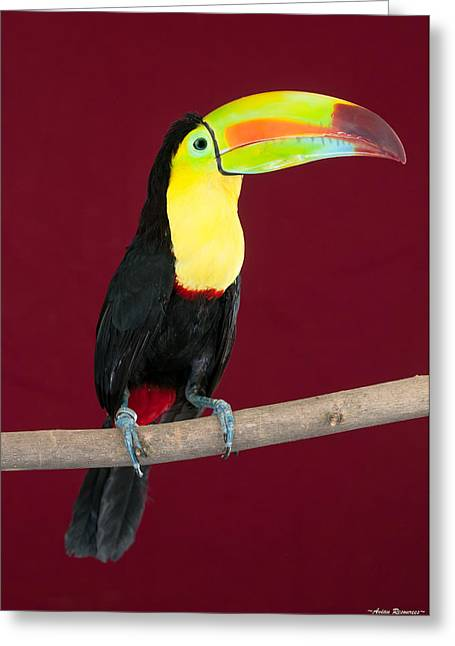 Greeting Card featuring the photograph Keel-billed Toucan 4 by Avian Resources