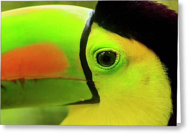 Keel-billed Toucan (ramphastos Greeting Card by Stuart Westmorland