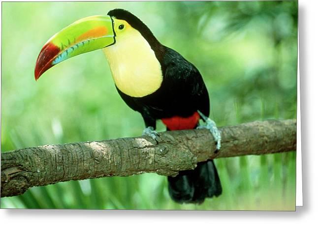 Keel-billed Toucan (ramphastos Sulfuratus) In Tree Greeting Card