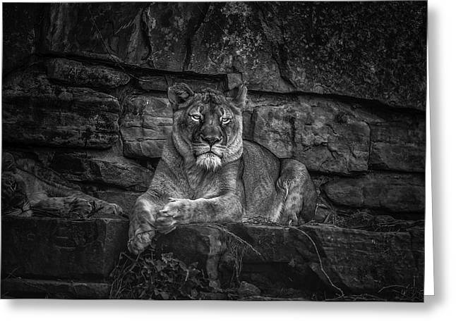 Keen Eyed Lioness Greeting Card