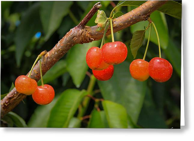 Kelowna Cherries Greeting Card by Marie  Cardona
