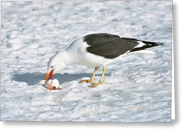 Kelp Gull Eating A Penguin Egg Greeting Card by Dr P. Marazzi