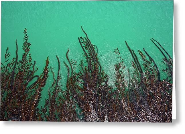 Kelp Off Of Pier At San Simeon State Greeting Card by Peter Bennett