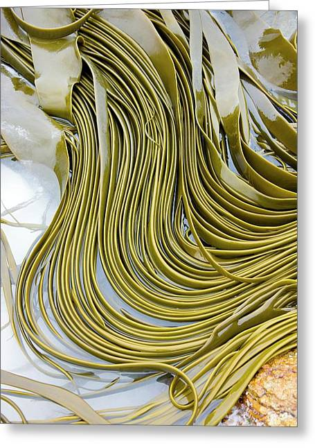 Kelp Seaweed Greeting Card