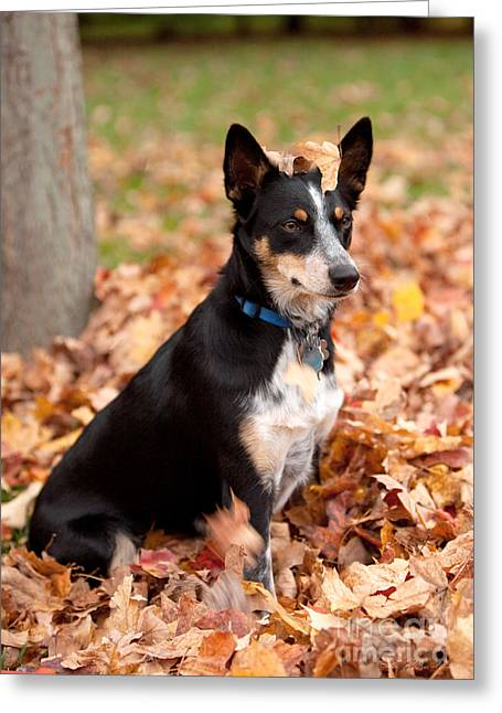 Kelpie Australian Sheep Dog In Fall Greeting Card by Iris Richardson
