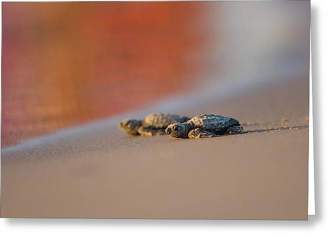 Kemp's Ridley Sea Turtle (lepidochelys Greeting Card