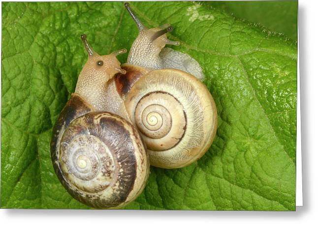 Kentish Snails Greeting Card by Nigel Downer