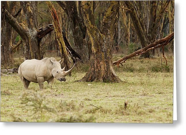 Kenya, Africa Adult Rhinoceros Greeting Card by Jan and Stoney Edwards