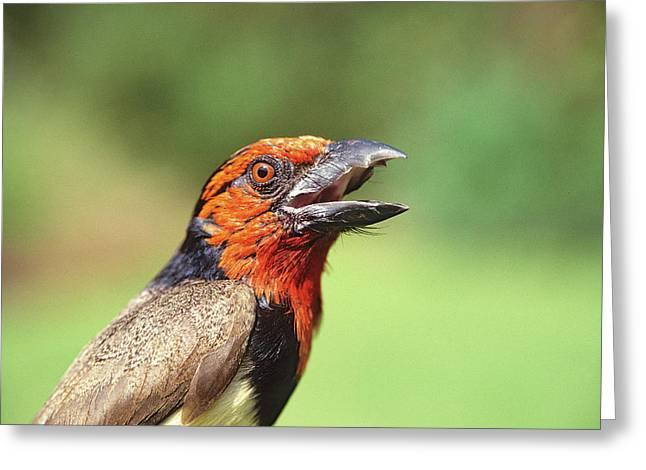 Kenya Close-up Of Black-collared Barbet Greeting Card by Jaynes Gallery