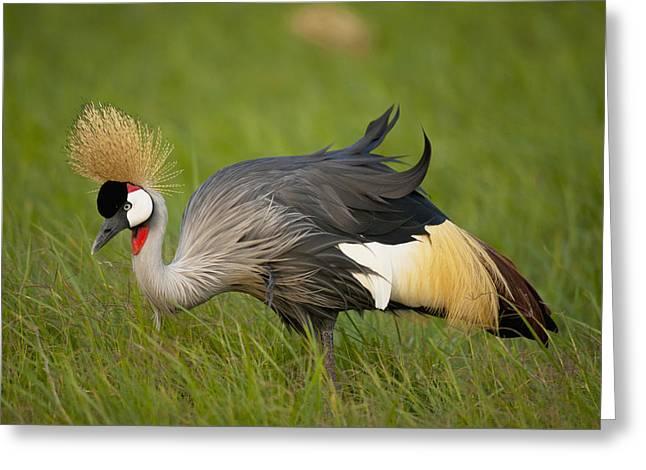 Kenya, Grey Crowned Crane In Ol Pejeta Greeting Card by Ian Cumming