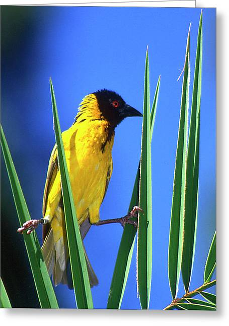Kenya Masked Weaver Bird Grasps Leaves Greeting Card