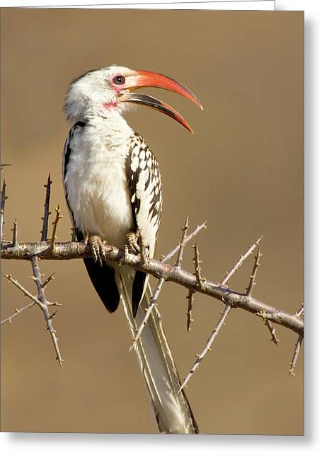Kenya Red-billed Hornbill Bird Perched Greeting Card by Jaynes Gallery