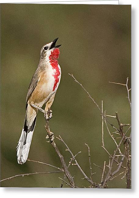 Kenya Singing Rosy-patched Bushshrike Greeting Card