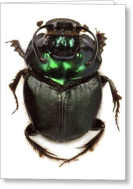 Kenyan Dung Beetle Greeting Card by Natural History Museum, London