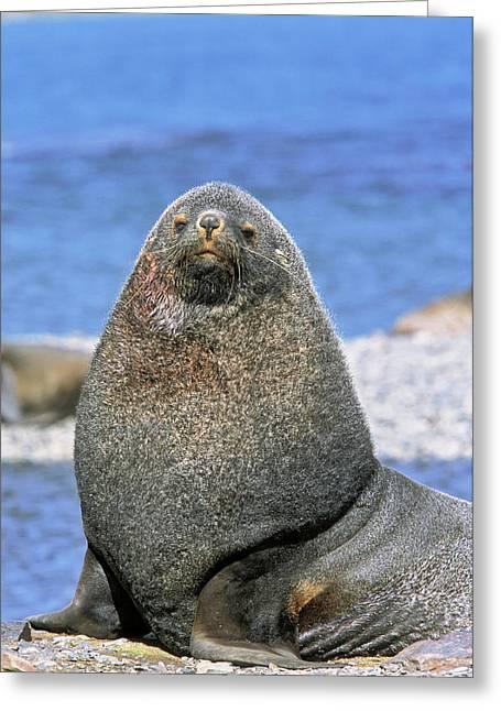 Kerguelen Fur Seal, Antarctic Fur Seal Greeting Card