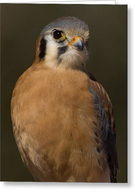 Kestrel    Falco Sparverius Greeting Card by Carol Gregory