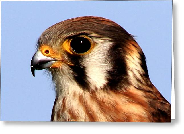 Kestrel Closeup Greeting Card