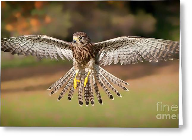 Kestrel Grace Greeting Card