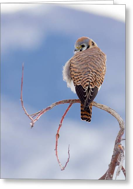 Kestrel In The Cold Greeting Card