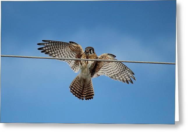Kestrel Landing Greeting Card