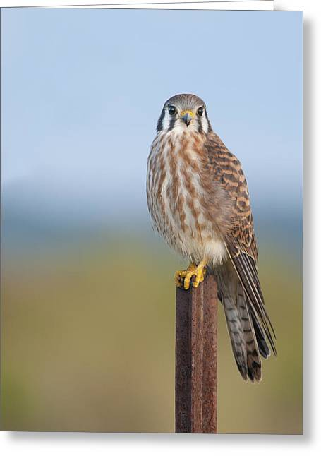 Kestrel On Metal Post Greeting Card