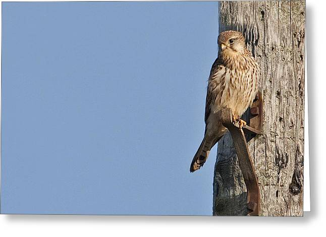 Greeting Card featuring the photograph Kestrel by Paul Scoullar