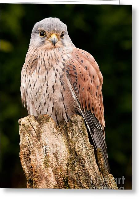 Kestrel Perched Close Up Greeting Card by Simon Bratt Photography LRPS