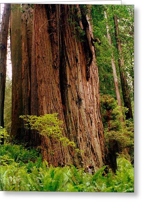 Kevin And The Big Tree - Redwood National Forest Greeting Card