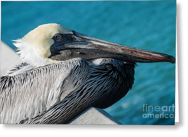 Liberal Greeting Cards - Key West Pelican Closeup - Pelecanus Occidentalis  Greeting Card by Ian Monk