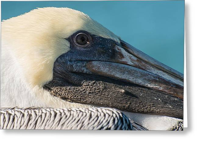 Key West Pelican Closeup - Square  Greeting Card by Ian Monk