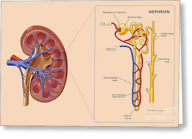 Kidney And Nephron, Illustration Greeting Card