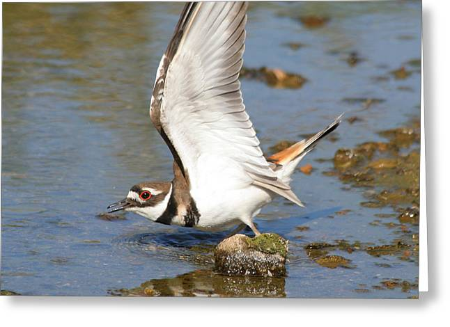 Greeting Card featuring the photograph Killdeer-2 by Bob and Jan Shriner