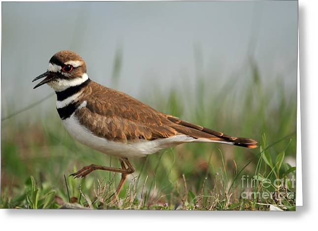 Greeting Card featuring the photograph Killdeer by Geraldine DeBoer