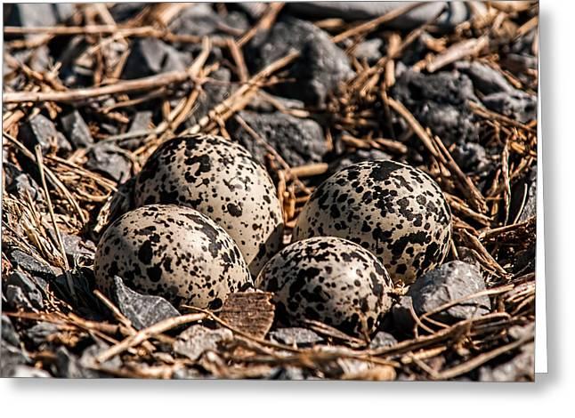 Killdeer Nest Greeting Card by Lara Ellis