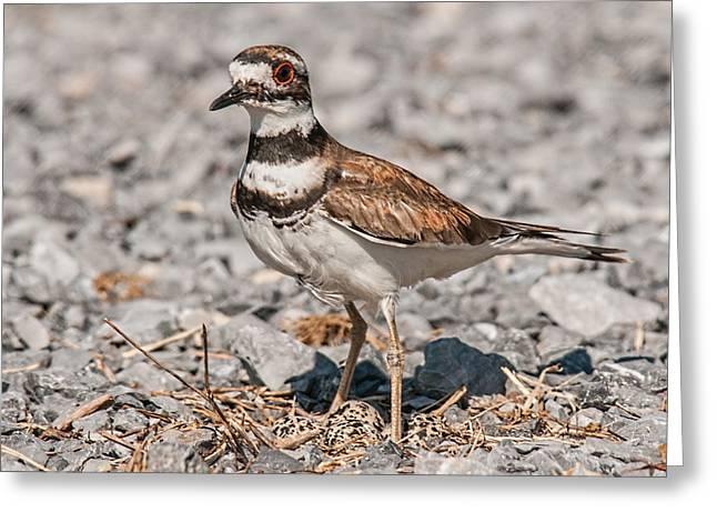 Killdeer Nesting Greeting Card by Lara Ellis