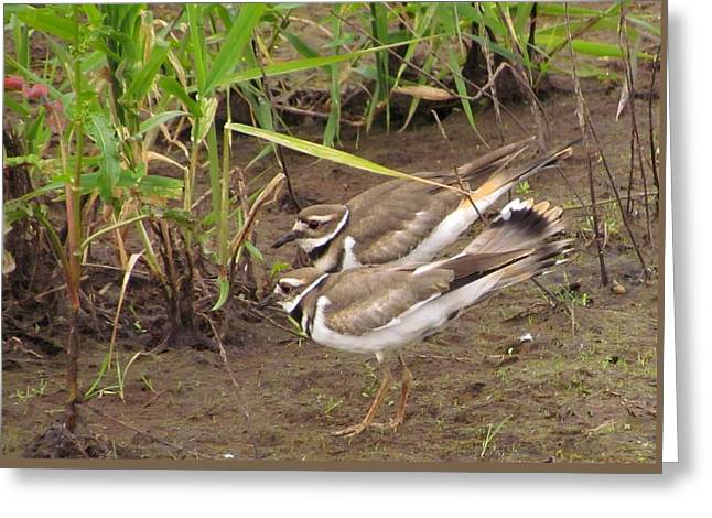 Greeting Card featuring the photograph Killdeer Pair by I'ina Van Lawick