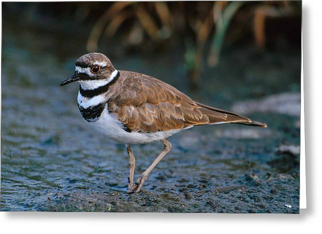 Killdeer Greeting Card by Paul J. Fusco