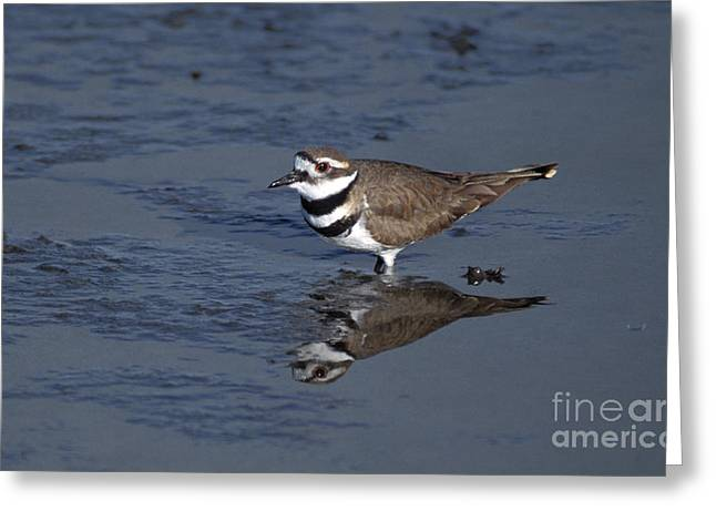 Killdeer Plover Charadrius Vociferus Greeting Card