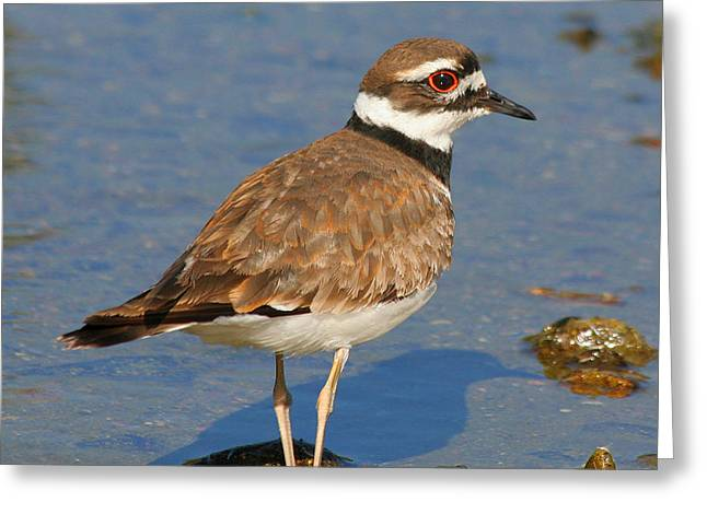 Greeting Card featuring the photograph Killdeer Wading by Bob and Jan Shriner