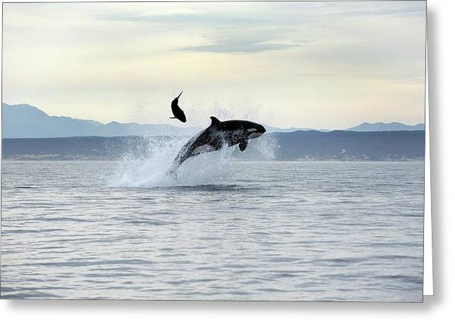 Killer Whale Hunting Greeting Card