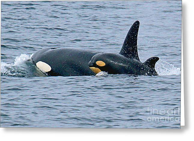 Greeting Card featuring the photograph Killer Whale Mother And New Born Calf Orcas In Monterey Bay 2013 by California Views Mr Pat Hathaway Archives