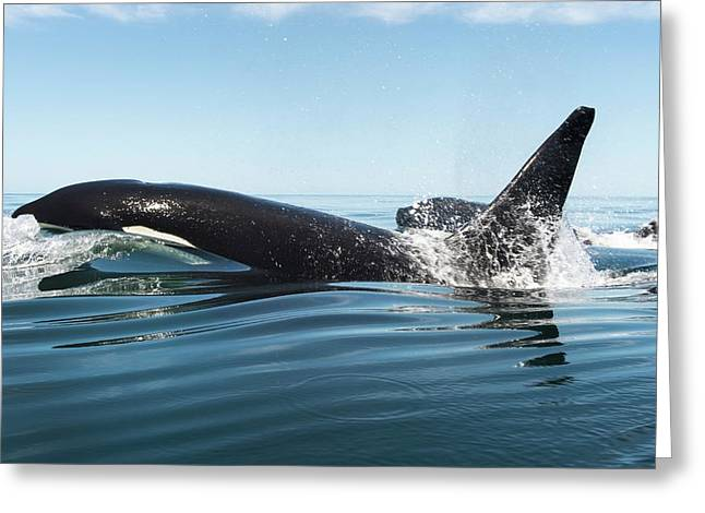 Killer Whales Swimming At The Surface Greeting Card by Christopher Swann