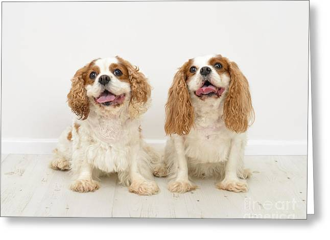 King Charles Spaniel Dogs Greeting Card by Amanda Elwell
