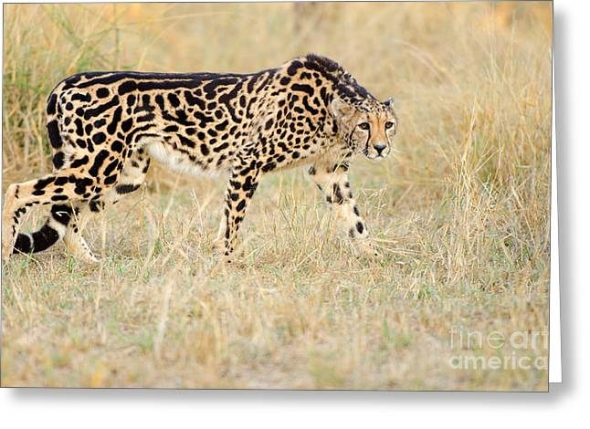 King Cheetah - South Africa Greeting Card by Birdimages Photography