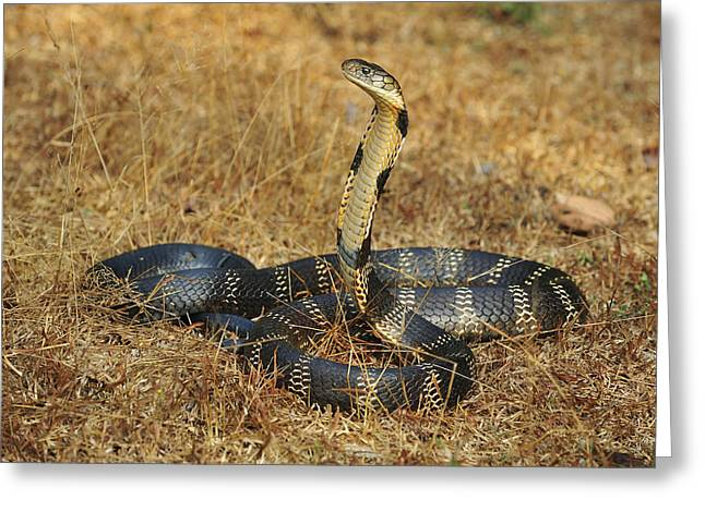 King Cobra Agumbe Rainforest India Greeting Card