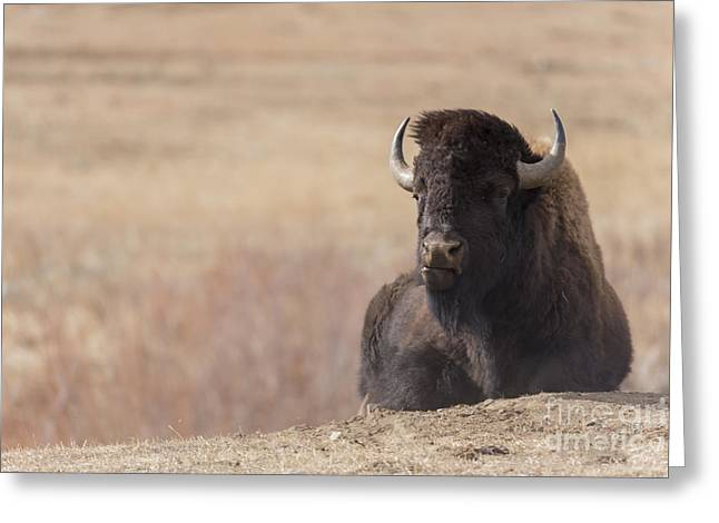 King Of The Hill At Custer State Park South Dakota Greeting Card